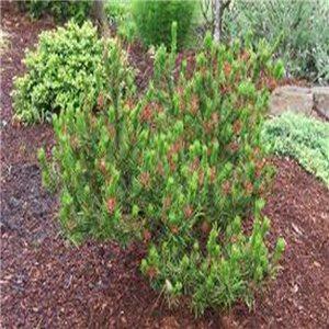 Borovica Pobrežná - (Pinus contorta) - semená 7 ks