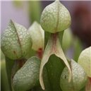 Darlingtonia Kalifornská cca - semienka rastliny 12 ks