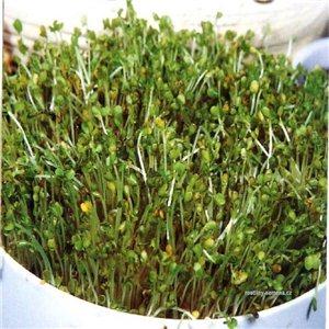 Klíčky - Brokolica - Bio osivo 2 - semená 5 g