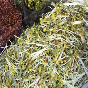 Klíčky - Rukola semená 40 g