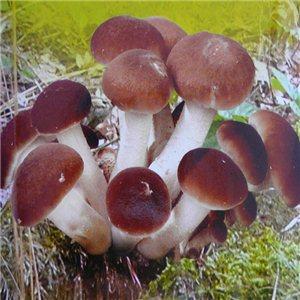 Polnička Topolová sadba hub (agrocybe aegerita)