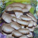 Hlíva Ústřičná - béžová sadba hub