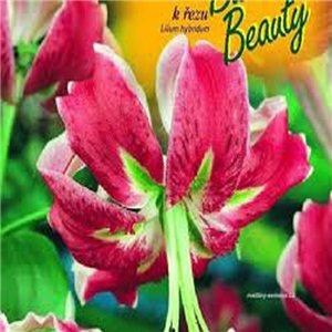 Ľalia - Black Beauty - cibuľa 1