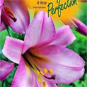 Lilie - Pink Perfection - cibule 1