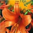 Lilie - African Queen - cibule 1