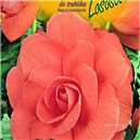 Begónie - farba: lotosová - cibuľa 2