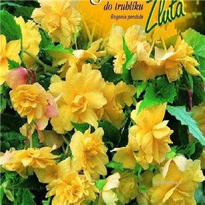 Begónie (Begonia tuberhybrida) - do truhlíka - farba: žltá - cibuľa 2