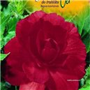 Begónie - farba: červená - cibuľa 2