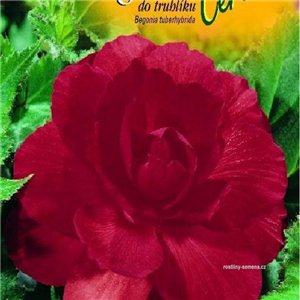 Begónie (Begonia tuberhybrida) barva: červená - cibule 2