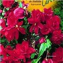 Begónie - do truhlíku -  barva: červená - cibule 2
