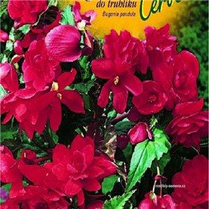 Begónie (Begonia tuberhybrida) - do truhlíka - farba: červená - cibuľa 2