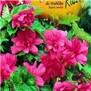 Begónie - do truhlíka - farba: ružová - cibule 2