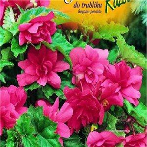 Begónie (Begonia tuberhybrida) - do truhlíka - farba: ružová - cibule 2