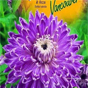 Jiřinka - Vancouver - cibuľa 1