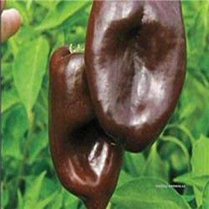 Mulato Chilli - semínka rostliny 10 ks