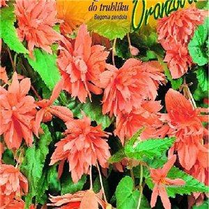 Begónie (Begonia semperflorens) barva: oranžová- cibule 2