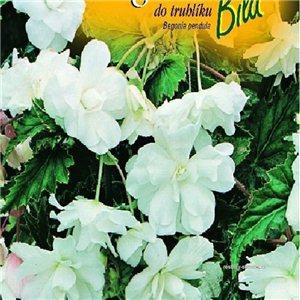 Begónie ( Begonia semperflorens) barva: bílá - cibule 2