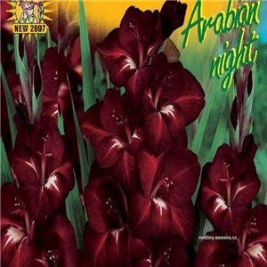 Gladiol - Arabian night - cibule 6