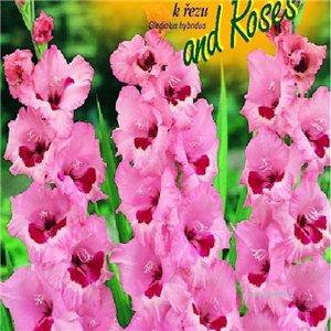 Gladiol - Wine and Roses - cibule 6
