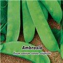 Hrách zahradní - Ambrosia