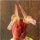 Bengálsky Zázvor - semienka rastliny 5 ks