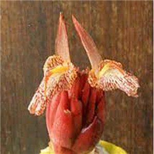 Bengálsky Zázvor (Zingiber Rubens) - semienka rastliny 5 ks
