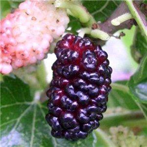 Moruše Čierna (Morus nigra) - semienka rastliny 7 ks