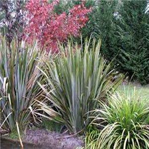 Novozélandský Lenovník (Phormium tenax) - semínka rostliny 10 ks