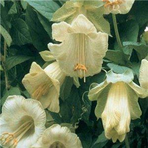 Šplhavý vilec (Cobaea scandens) - biely - semená 0,8 g