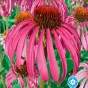 Echinacea purpurová - semená 0,6 g