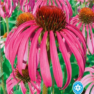 Rudbekia srstnatá (kvetina: Echinacea purpurea) 0,3 g osiva echinacea