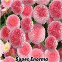 Sedmokráska bellis perenis - semená 0,1 g