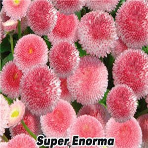 Sedmikráska chudobka (Bellis perennis) - semena 0,1 g