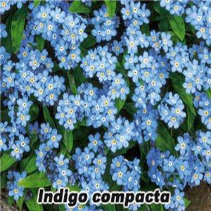 Pomněnka lesní-Indigo (Myosotis sylvatica)  - semena 0,2 g