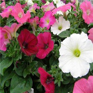 Petunia mnohokvetá zmes 0,0 - semená 5 g