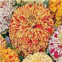 Ostálka lepá jiřinkokvětá-Pepermint stick - semena 1 g
