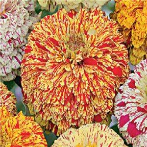 Cínia Lepąie jiřinkokvětá-Pepermint stick - semená 1 g