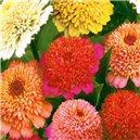 Cínia pomponkovitá Tom Thumb zmes farieb - semená 1 g