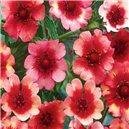 Nátržník červená - semená 0,1 g