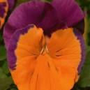 Maceška zahradní-oranžovo fialová - semena 0,2 g