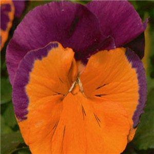 Maceška zahradní (Viola wittrockiana)-oranžovo fialová - semena 0,2 g