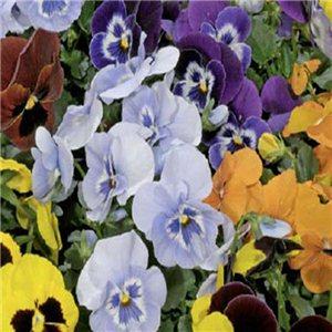 Maceška  zahradní (Viola wittrockiana)-Aalsmeerská směs - semena 0,2 g