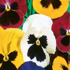 Maceška zahradní (Viola wittrockiana) - Schweizer riesen