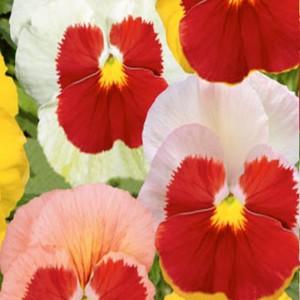 Sirôtka záhradná (Viola wittrockiana)-Liebesduett - semená 0,2 g