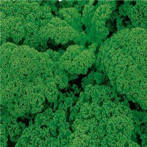 Kel kučeravý (Brassica oleracea) semená 0,8 g