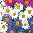 Hviezdice alpská-zmes farieb - semená 0,4 g