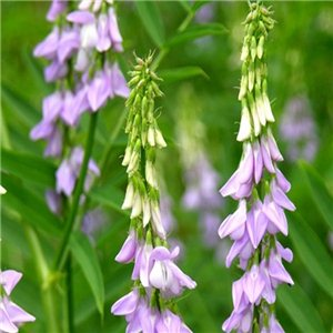 Jastrabina Lekárska-Běla 1, - (Galega officinalis) semená 5 g