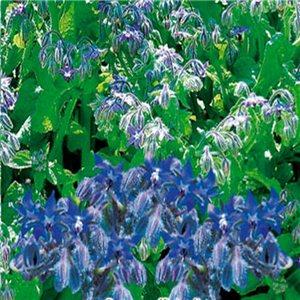 Brutnák lékařský 1 ,- (Borago officinalis) semena 5 g