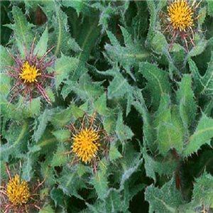 Benedikt lekársky (Cnicus benedictus L) - semená 2 g