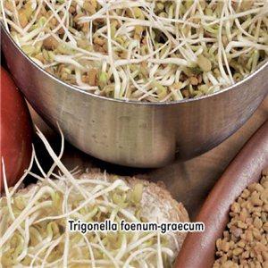 Pískovice grécka seno 1, - (Trigonella doenum-graecum) semená 5 g